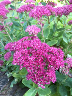 Sedum is excellent value with its autumn colour