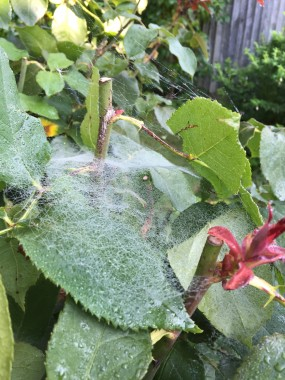 What a web we weave - a spider's work in the roses
