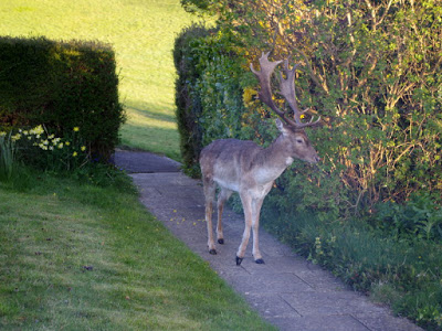A deer wanders up the garden path. Photograph: Wendy Tagg