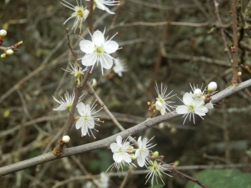 Photograph of blooming Blackthorn tweeted by Sussex Wildlife