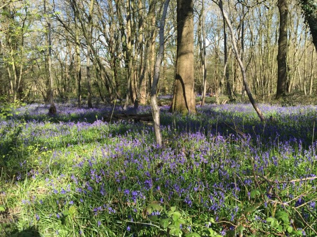 boothland-wood-bluebells-1