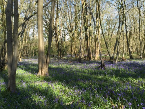 boothland-wood-bluebells-2