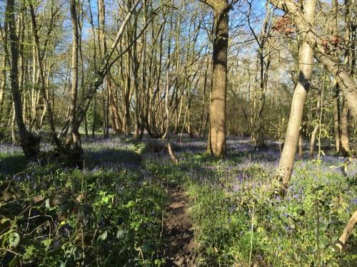 boothland-wood-bluebells-3