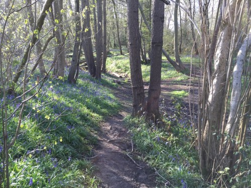 boothland-wood-bluebells-4