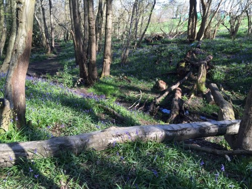 boothland-wood-bluebells-5