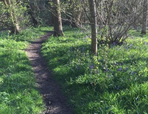 west-park-nature-reserve-8-bluebells