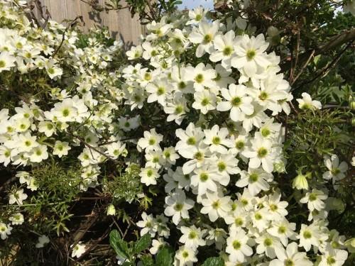 Glororious clematis tumbling through shrubs