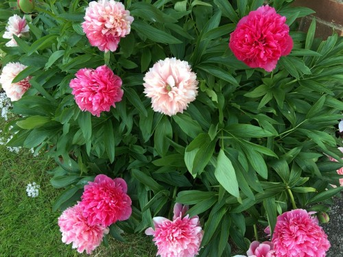 Peonies fading from deep pink to almost white