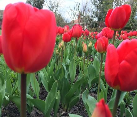 Tulips at Pashley