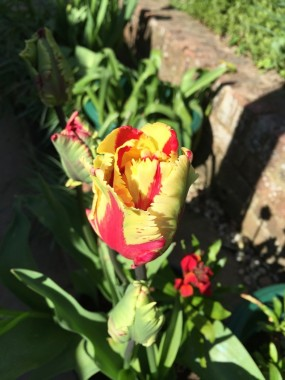 A gaudy two-coloured tulip