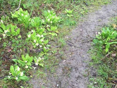millennium-green-primroses
