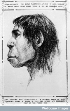 Illustration of Piltdown Man (Eoanthropus). fragments of skull found in 1912. Credit: Wellcome Library, London.