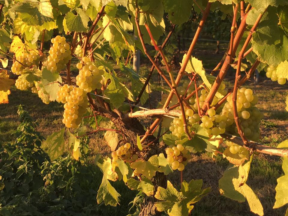 bluebell-vineyard-estates-chardonnay