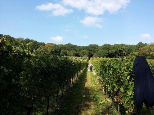 bluebell-vineyard-estates-harvest