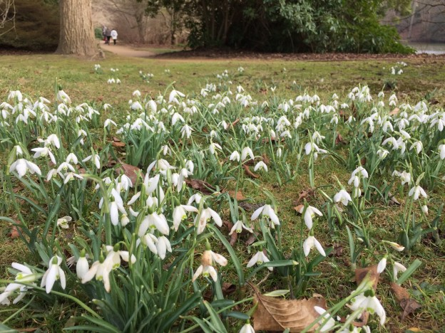 sheffield-park-snowdrops