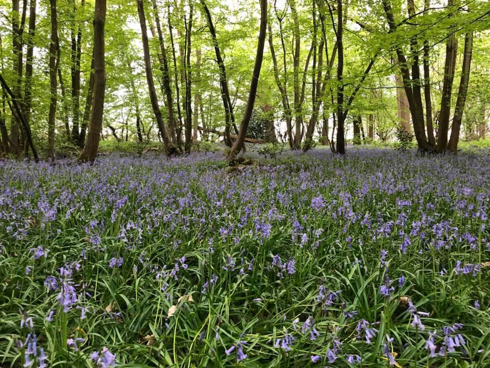 bluebells-boothland-wood-1