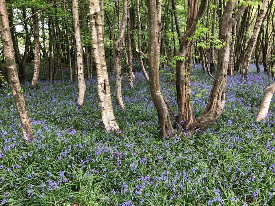 bluebells-boothland-wood-3
