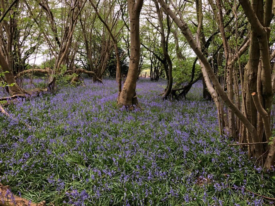 bluebells-boothland-wood-4