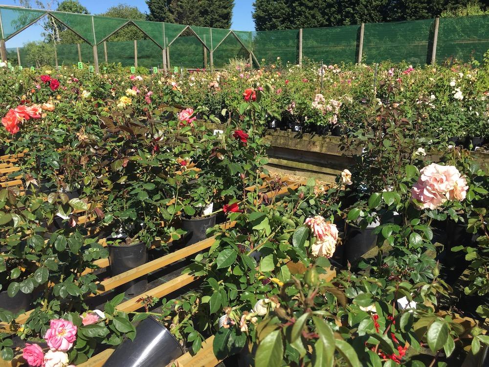 staverton-roses