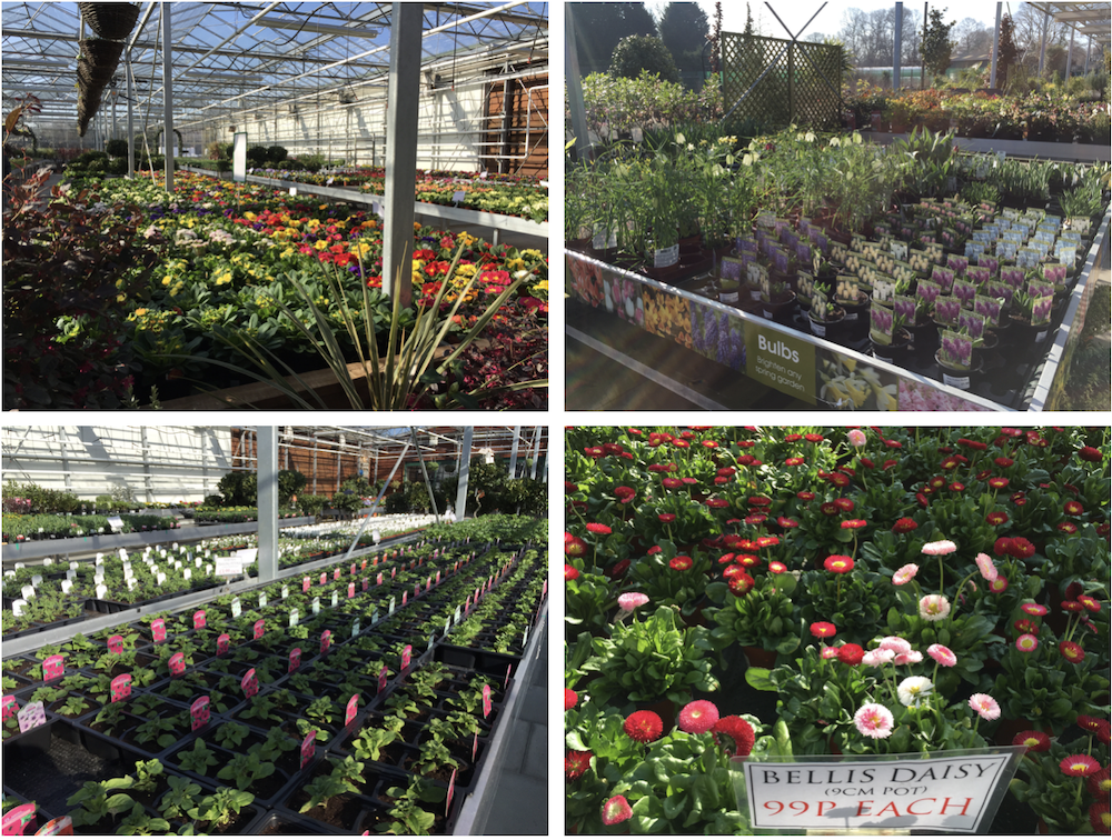 stavertons-primroses-spring-bulbs-bedding-starters-bellis-daisies