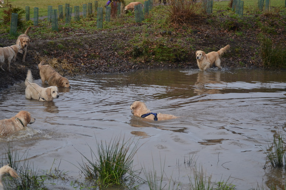 golden-retrievers-horsted-green-pond